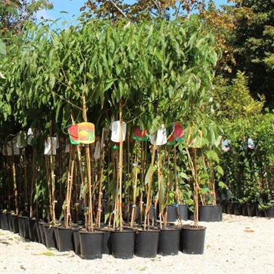 albero da frutta molte variet emporio della natura